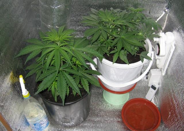 Конопля выращивание домашни условия