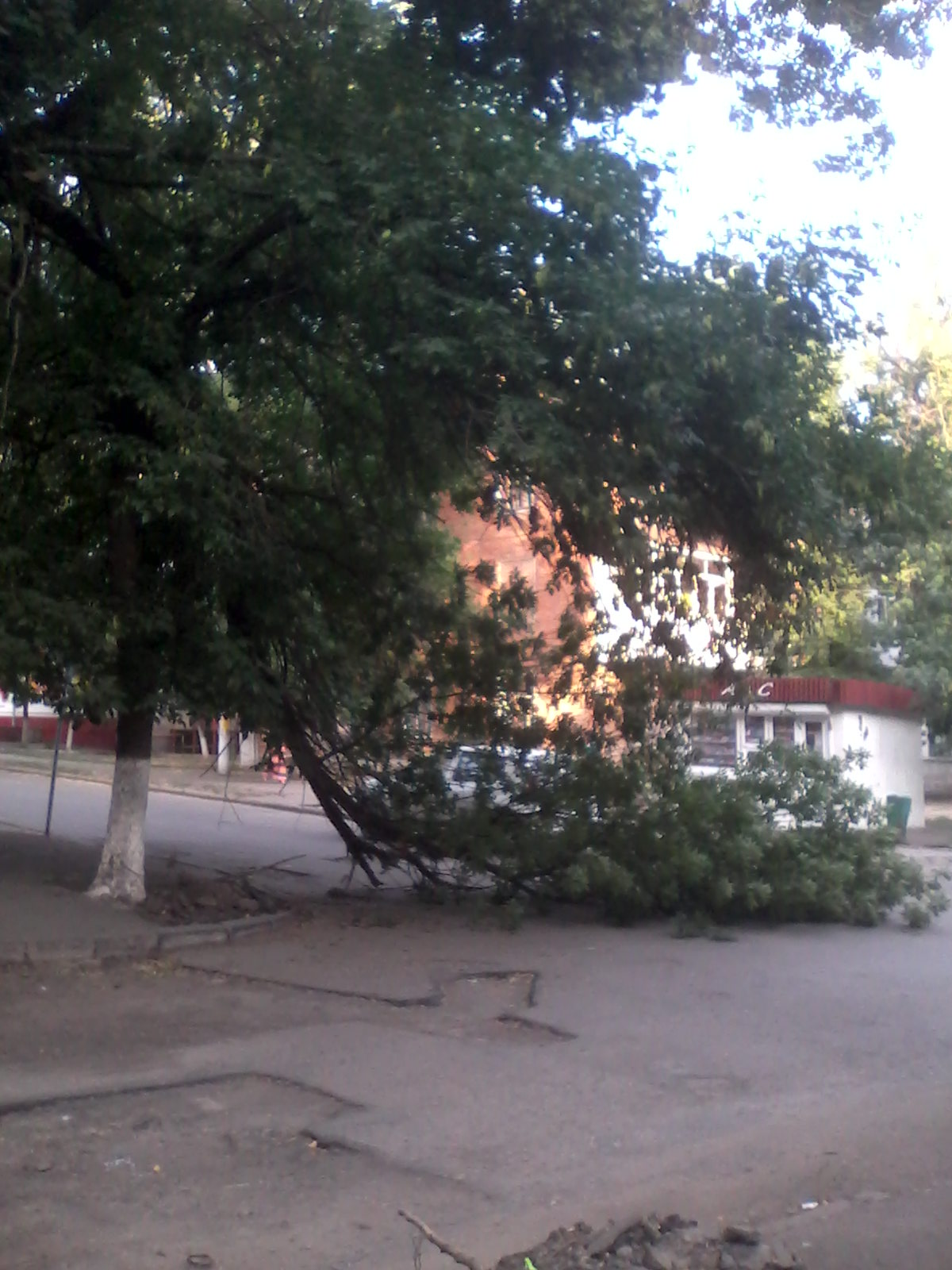 дерево гвард (2)